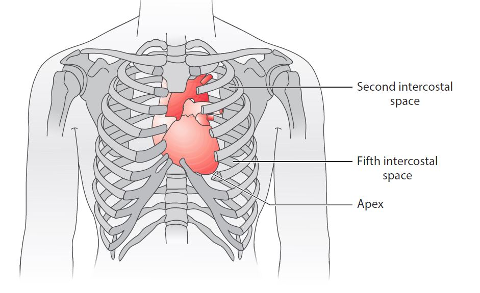 The Heart Chambers - Figure 1.1 Location of the heart within the chest.
